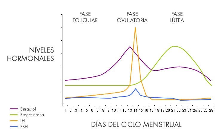 fases-ciclo-menstrual-soy.jpg